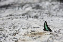 Zwarte en groene vlinder op steenvloer Royalty-vrije Stock Afbeelding