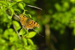 Zwarte en Oranje Kommavlinder Royalty-vrije Stock Foto's