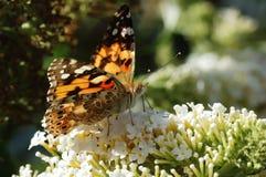 Zwarte en Oranje Vlinder Royalty-vrije Stock Afbeeldingen