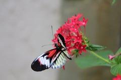 Zwarte en Oranje Vlinder op Bloem Stock Fotografie