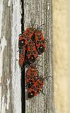 Zwarte en rode insecten Stock Fotografie