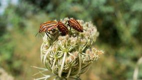 Zwarte en rode insecten Royalty-vrije Stock Foto