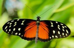 Zwarte en rode vlinder Stock Foto