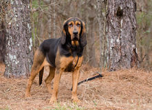 Zwarte en Tan Bloodhound Dog royalty-vrije stock foto