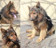 Zwarte en Tan German Shepherd-hond Royalty-vrije Stock Afbeelding