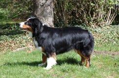 Zwarte en tan hond Royalty-vrije Stock Afbeelding