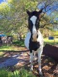 Zwarte en whit paard op het landbouwbedrijf Stock Foto