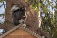 Zwarte Europese eekhoorn dichte omhooggaand royalty-vrije stock afbeelding