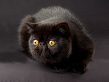 Zwarte Exotische Perzisch op zwarte achtergrond Royalty-vrije Stock Afbeeldingen