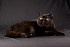 Zwarte Exotische Perzisch op zwarte achtergrond Stock Foto's