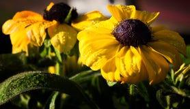 Zwarte Eyed Susan Stock Foto's