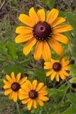Zwarte Eyed Susan royalty-vrije stock afbeeldingen