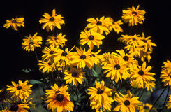 Zwarte Eyed Susan Flowers Royalty-vrije Stock Fotografie