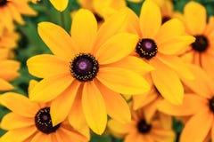 Zwarte eyed Susan, rudbeckiabloemen royalty-vrije stock afbeeldingen