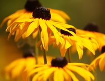Zwarte eyed Susans Royalty-vrije Stock Fotografie