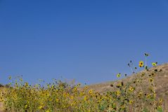 Zwarte eyed susans tegen een blauwe hemel Stock Foto's
