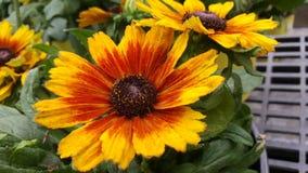 Zwarte Eyed Susans Wildflowers Royalty-vrije Stock Afbeelding