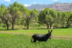 Zwarte ezel op groen gebied stock foto