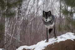 Zwarte Fase Grey Wolf & x28; Canis lupus& x29; Kijkt uit van boven op Rots stock afbeeldingen