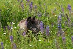 Zwarte Fase Grey Wolf (Canis-wolfszweer) in Lupine Royalty-vrije Stock Afbeeldingen