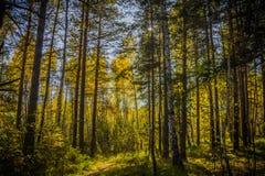 Zwarte Forrest in Rusland De oranje Avondzon glanst door Stock Afbeeldingen