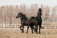 Zwarte friesian paarden Royalty-vrije Stock Afbeeldingen