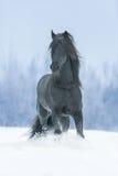 Zwarte frisian hengst Royalty-vrije Stock Fotografie