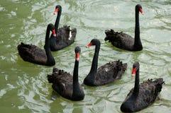 Zwarte gans Stock Foto's