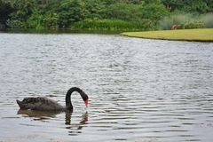 Zwarte gans bij de botanische tuin van Singapore Royalty-vrije Stock Afbeeldingen