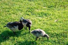 Zwarte ganzen Kazarka met ptitsimi het weiden in een weide Stock Foto's