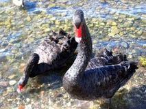 Zwarte ganzen of zwanen Royalty-vrije Stock Foto's