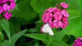 Zwarte geaderde witte vlinder stock footage