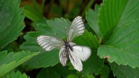 Zwarte geaderde witte vlinder stock video