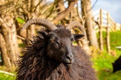 Zwarte Gehoornde Ram royalty-vrije stock afbeeldingen