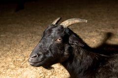 Zwarte geit Royalty-vrije Stock Foto's
