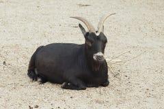 Zwarte geit Royalty-vrije Stock Afbeeldingen