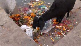 Zwarte geit die op de rivierkust van Ganges ceremoniebloemen in Varanasi eten stock footage