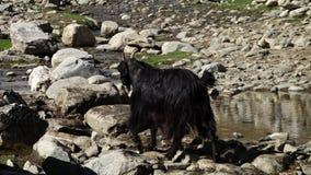 Zwarte geit die op stenen stappen stock footage