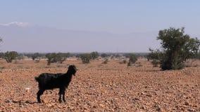 Zwarte geit in Marokkaans woestijnlandschap stock videobeelden