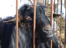 Zwarte geit zonder hoornen in een cel Royalty-vrije Stock Afbeeldingen