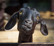 Zwarte geitclose-up royalty-vrije stock fotografie
