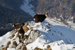Zwarte geiten in bergen Royalty-vrije Stock Afbeelding