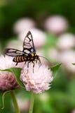 Zwarte gele bij die honingsnectar van roze ronde bloem verzamelen Stock Afbeeldingen