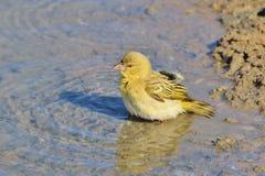 Zwarte Gemaskeerde Wever - Afrikaanse Wilde Vogelachtergrond - het Zwemmen Kleuren Royalty-vrije Stock Afbeelding
