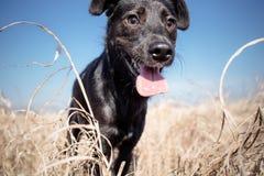 Zwarte gemengde rassenhond Royalty-vrije Stock Afbeelding