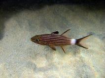 Zwarte Gestreepte Hoofdvissen in het zand royalty-vrije stock afbeeldingen
