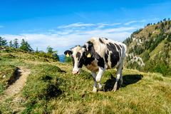 Zwarte gevlekte koe in de alpen Royalty-vrije Stock Fotografie