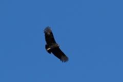 Zwarte gier Stock Afbeeldingen