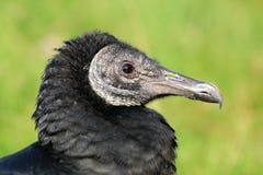 Zwarte gier stock afbeelding