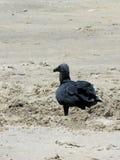 Zwarte gier Stock Foto